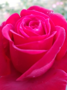 Årets sidste rose